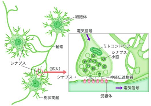 人間の神経細胞(ニューロン)