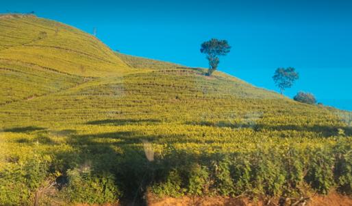 ヌワラ・エリヤの茶畑